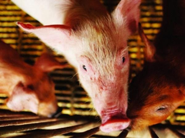 N-Bổ sung sắt và vitamin đúng cách cho lợn con