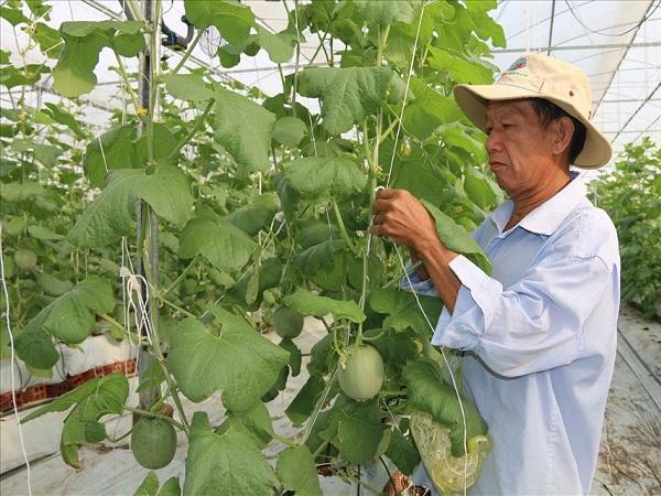 Mô hình trồng dưa lưới 'thách thức' xâm nhập mặn
