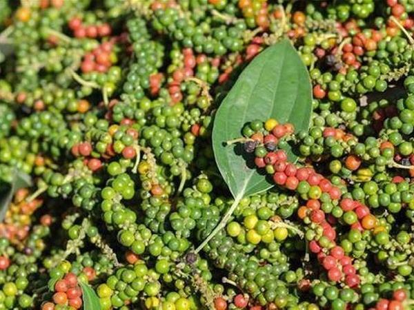 Nông dân trồng hồ tiêu cần tỉnh táo trước vụ mới để được hưởng lợi