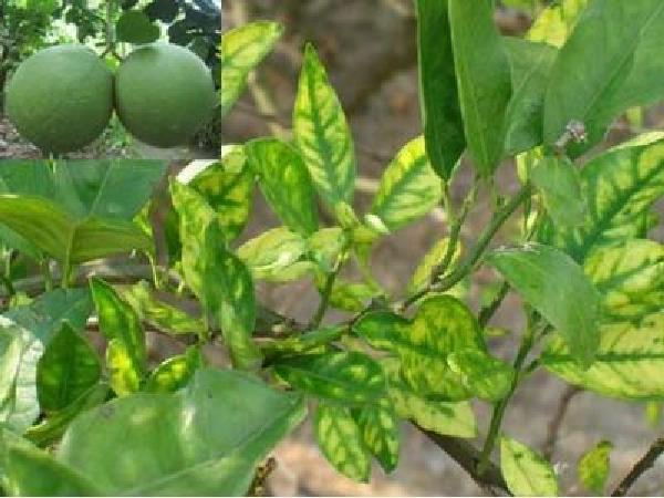 SB-Tìm hiểu nguyên nhân khiến cây bưởi bị vàng lá và cách phòng trị