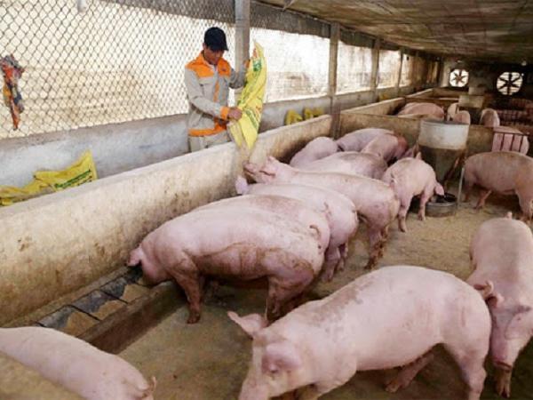 Chi tiết giá lợn hơi tại từng địa phương trên cả nước