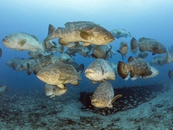 CB-Nhóm bệnh môi trường trên cá mú, nguy hiểm nhưng ít ai biết