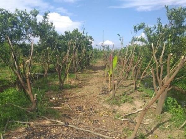 SB-Nhiều giải pháp khắc phục hiện tượng vàng lá thối rễ, chết xanh cây có múi