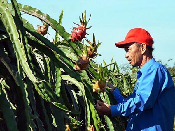 Người trồng thanh long: Lo mất Tết