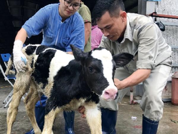 Ứng dụng công nghệ cấy truyền phôi bò sữa
