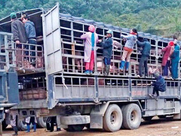 Buôn lậu lợn oanh tạc cuối năm, người chăn nuôi sẽ đối mặt với rủi ro lớn