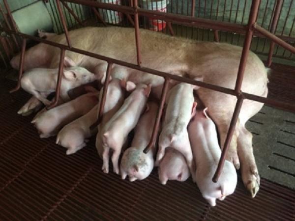 N-Những kinh nghiệm quý trong chăm sóc lợn con sau sinh