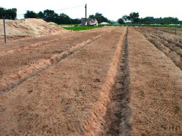 CS- Đất cát nên trồng những loại cây trồng gì để mang lại hiệu quả kinh tế cao?