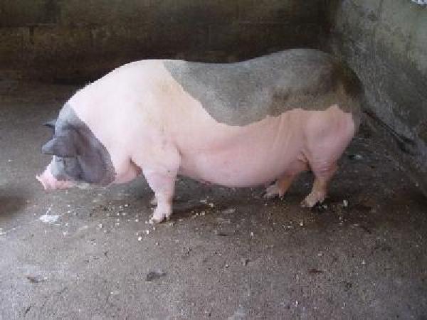 CB- Lợn chửa quá ngày khắc phục như thế nào?