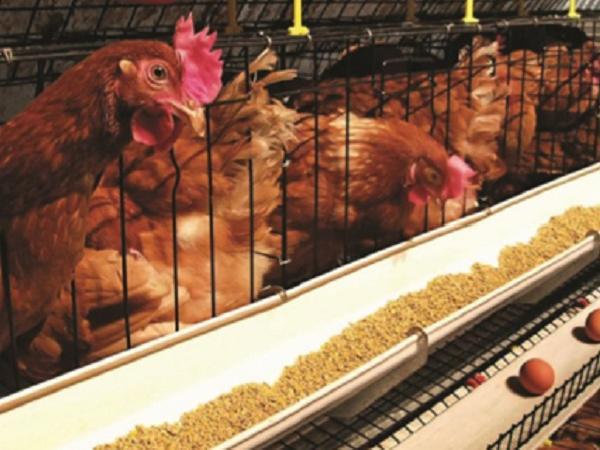 N-Quy trình nuôi gà đẻ siêu trứng hiệu quả cao