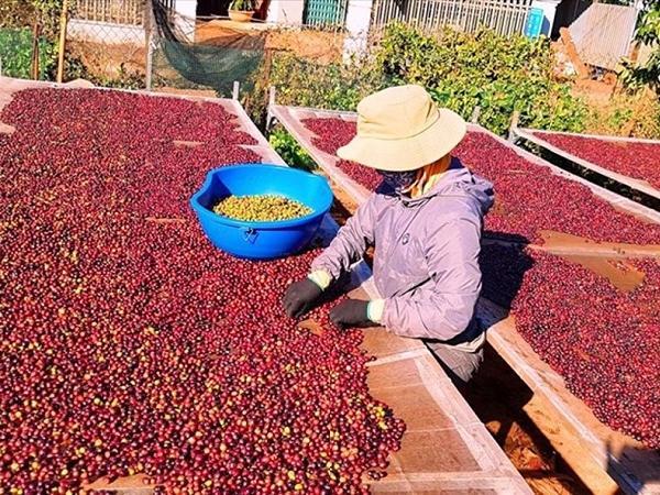 Dự báo năm 2021: Nguồn cung giảm sẽ đẩy giá cà phê tăng