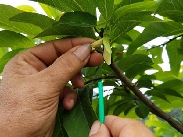 CS-Kỹ thuật thụ phấn bổ huyết cho cây na đậu quả 100%