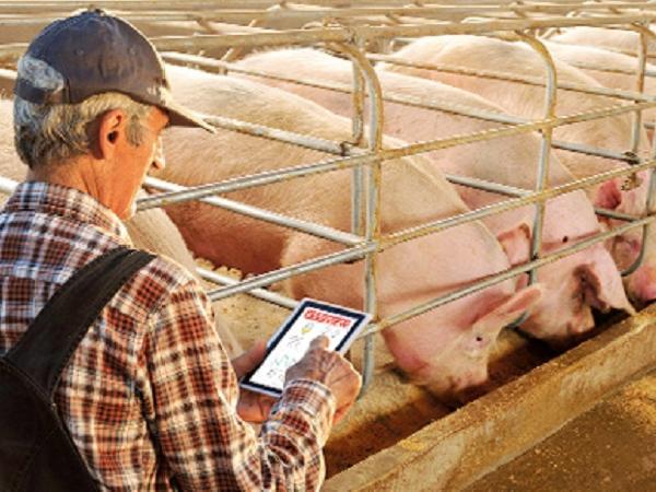 Những công nghệ nuôi heo hiện đại hiện nay