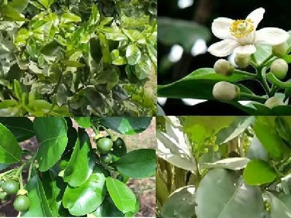 CS-Kinh nghiệm xử lý khi cây bưởi da xanh vừa ra hoa vừa ra đọt non
