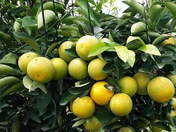 Bí quyết trồng cam không lo dịch bệnh