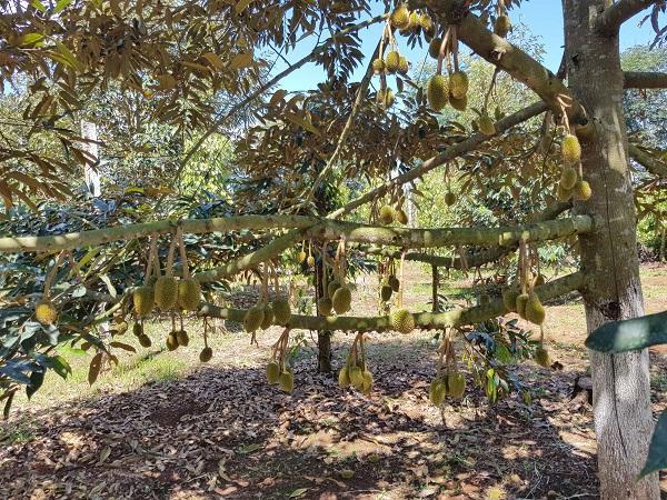 Hàng chục ha sầu riêng rụng lá vì sử dụng thuốc bảo vệ thực vật, thiệt hại hàng tỷ đồng