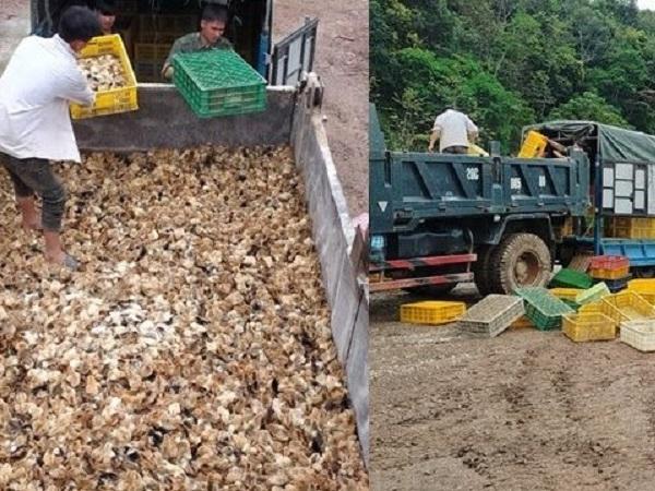Xót xa cảnh nông dân đổ cả vạn con gà giống xuống ao cho cá ăn