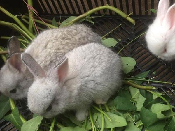 N-Nuôi cách ly và phương pháp tuyển lựa thỏ làm giống