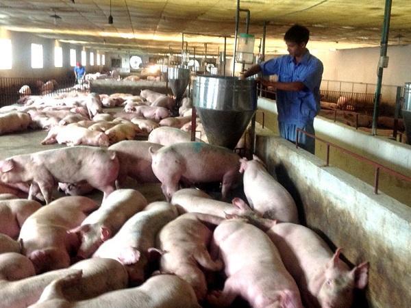 Cập nhật giá lợn hơi trên toàn quốc, người chăn nuôi chờ đợi đợt tăng mới
