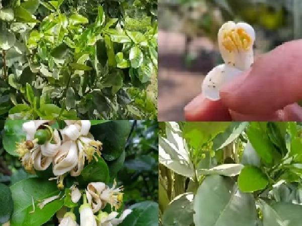 CS-Tại sao cây bưởi da xanh ra hoa lại rụng không đậu quả