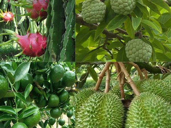 CS-Kali Sulphat giải pháp hiệu quả cho cây ăn trái chất lượng cao