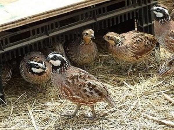 N-Những lưu ý vàng trong chăn nuôi chim cút