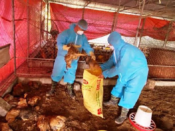 Xuất hiện dịch cúm A/H5N6, phải tiêu hủy gần 15.000 con gia cầm