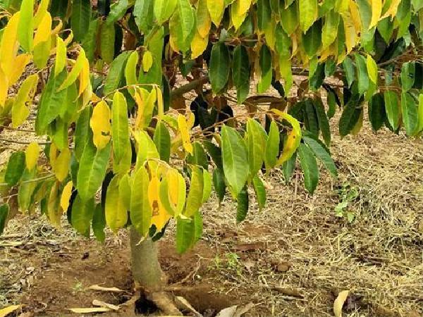 SB- Điều trị cây sầu riêng bị bệnh thối rễ, tuyến trùng và nấm thế nào cho hiệu quả?