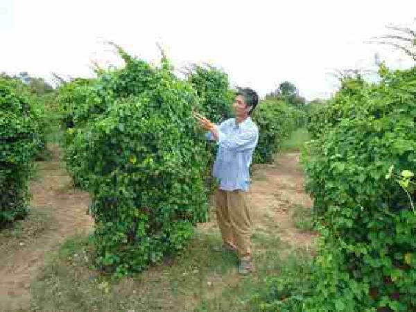 CS-Kỹ thuật trồng và chăm sóc cây lá giang
