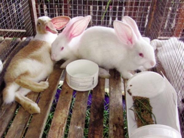 CB- Sự nguy hiểm của bệnh xuất huyết trên thỏ