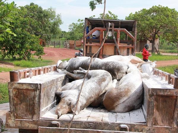 Tình hình dịch tả lợn châu Phi mới nhất, tiêu hủy gần 1.600 con lợn