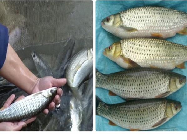 Cá rói, đối tượng nuôi mới mang lại lợi nhuận cao
