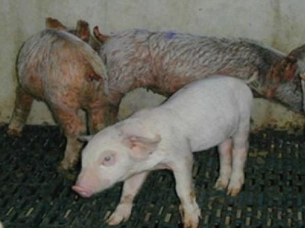 CB-Nguyên nhân và cách khắc phục bệnh viêm da tiết dịch trên lợn
