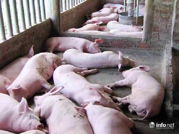 """Lợn bỏ ăn, sốt rồi chết: Có phải mắc """"án tử""""?"""