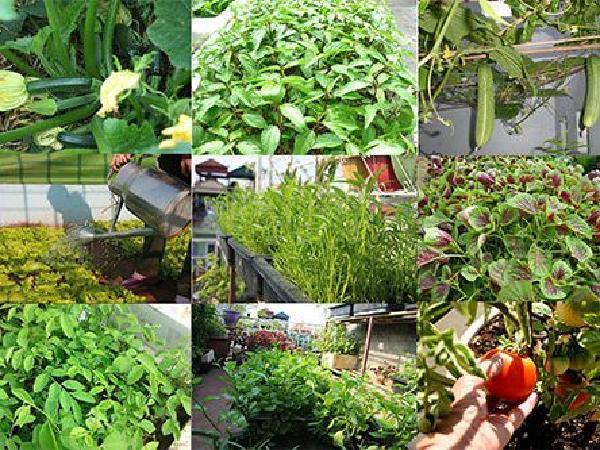CS-7 loại rau mùa hè dễ trồng và nhanh cho ăn nhất