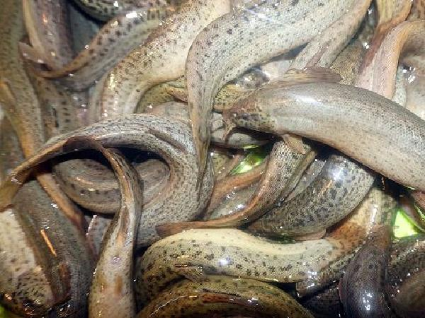 Thả chạch lấu vào ao nuôi cá hô, chỉ lời chứ không lo lỗ