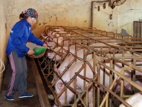 N- Những nguyên tắc cơ bản trong công tác phòng chống dịch bệnh tại trại chăn nuôi heo