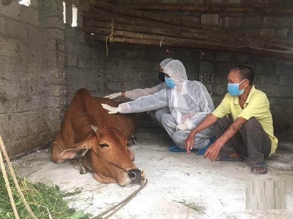 Cảnh báo: Xuất hiện dịch bệnh mới khiến bò lăn ra chết tại nhiều địa phương