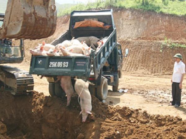 Cấp bách tiêu hủy hàng trăm con lợn nhiễm dịch tả lợn châu Phi, ráo riết dập dịch