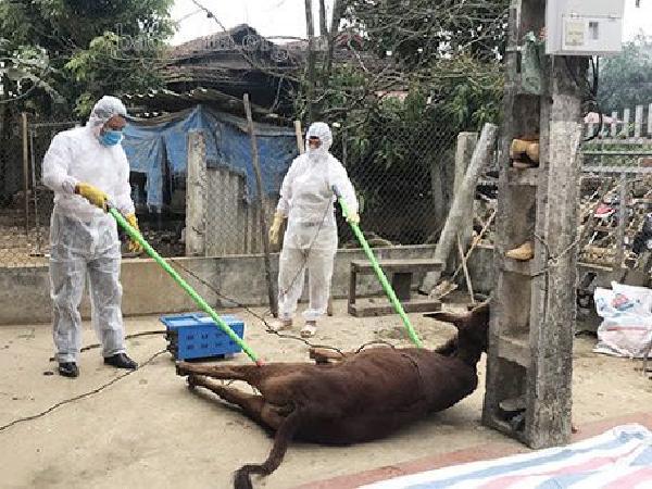 Dịch viêm da nổi cục lây lan chóng mặt, nguy cơ tiêu hủy hàng nghìn con trâu bò