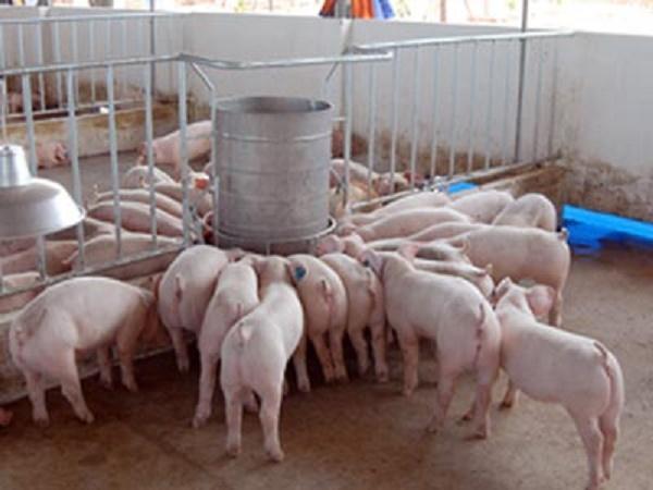 Danh tính đối tượng chuyên bán lợn giống ảo qua mạng, lừa đảo người chăn nuôi
