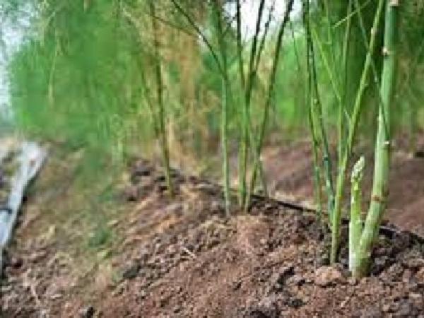 Thu tiền triệu mỗi ngày từ trồng măng tây xanh