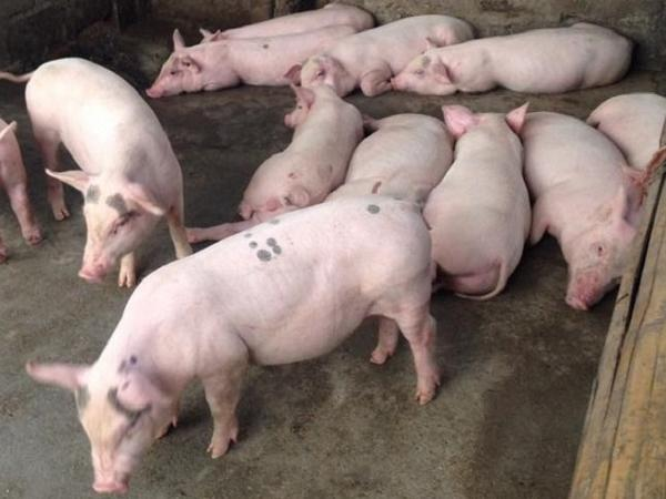 Cấm giết mổ, buôn bán lợn từ 31/3 để ngăn chặn dịch tả lợn châu Phi