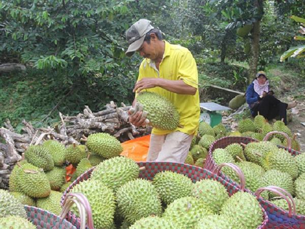 Giá sầu riêng vụ nghịch tăng cao, nông dân ăn mừng vì lãi tiền tỷ