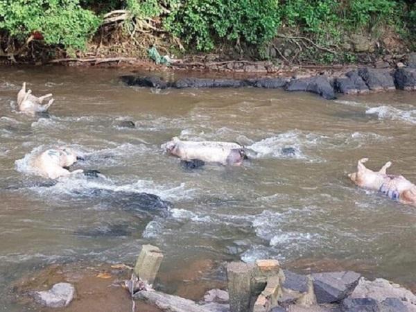 Nông dân vô tư vứt lợn chết trôi sông, dịch bệnh nhiễm nguồn nước