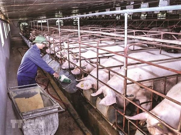 Dịch tả lợn châu Phi bùng phát tại Nghệ An khiến giá lợn hơi tại các địa phương chênh lệch cao