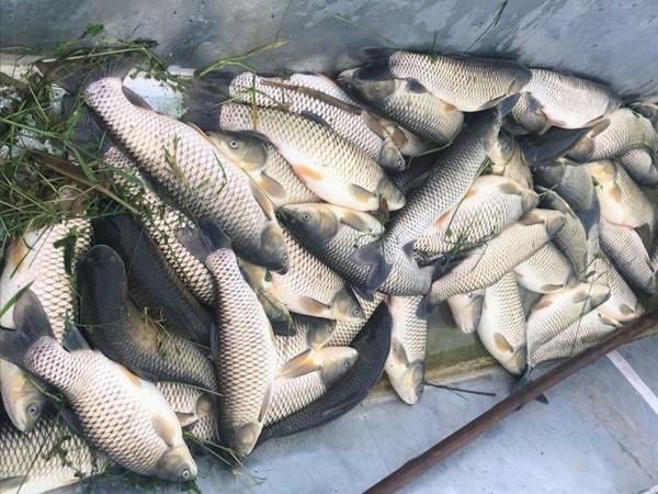 Tiếc đứt ruột hơn 30 tấn cá chết bất thường, nông dân lâm cảnh nợ nần