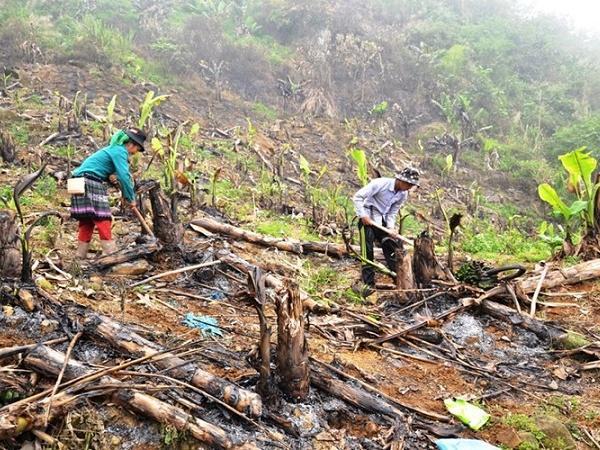Khung cảnh hoang tàn: Hàng trăm ha chuối bị đốt bỏ, nông dân trở nên trắng tay