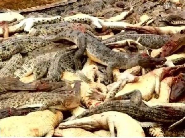Chủ trại bất lực tiêu hủy gần 100 con cá sấu chết đói vì dịch Covid-19