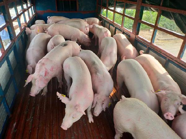Chi tiết giá lợn hơi từng địa phương hôm nay: Giá lợn hơi tiếp tục giảm, nông dân còn có lãi?